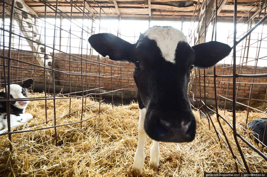 688 Производство молока: Племзавод Ирмень в Новосибирской области