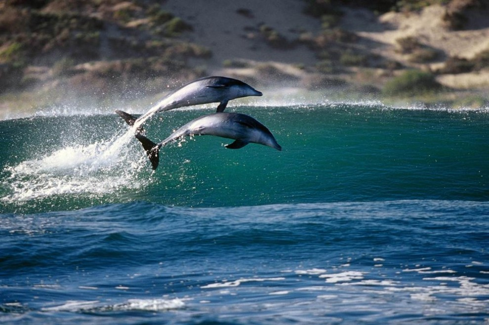 7 990x659 Танцы дельфинов