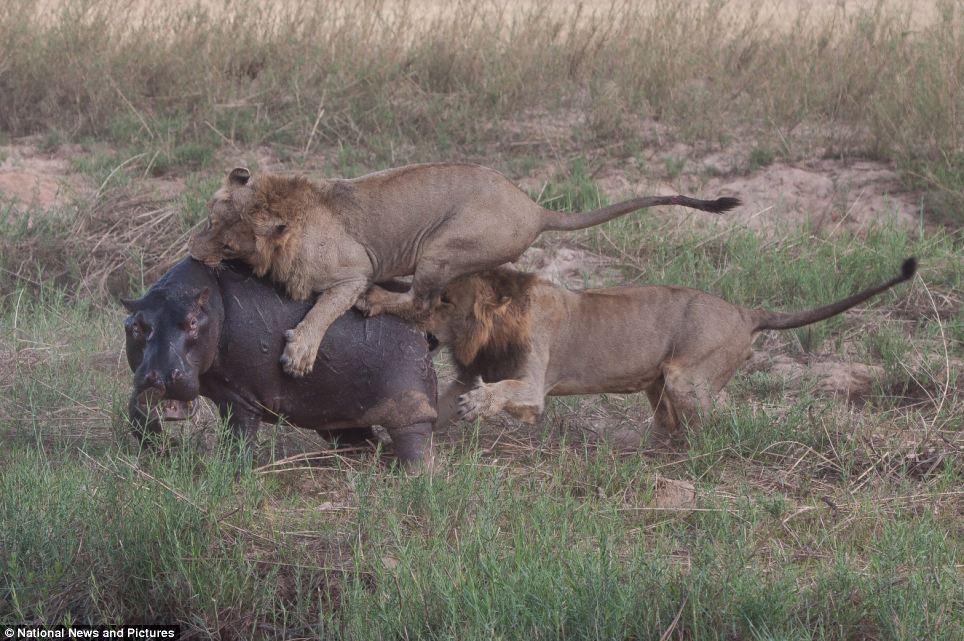 7114 Жестокая природа: гиппопотам против львов