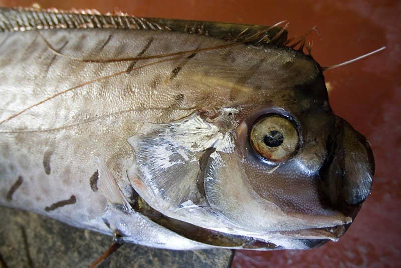 7153 Чудо рыба