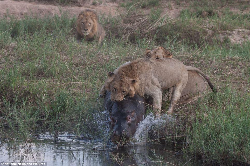 8108 Жестокая природа: гиппопотам против львов
