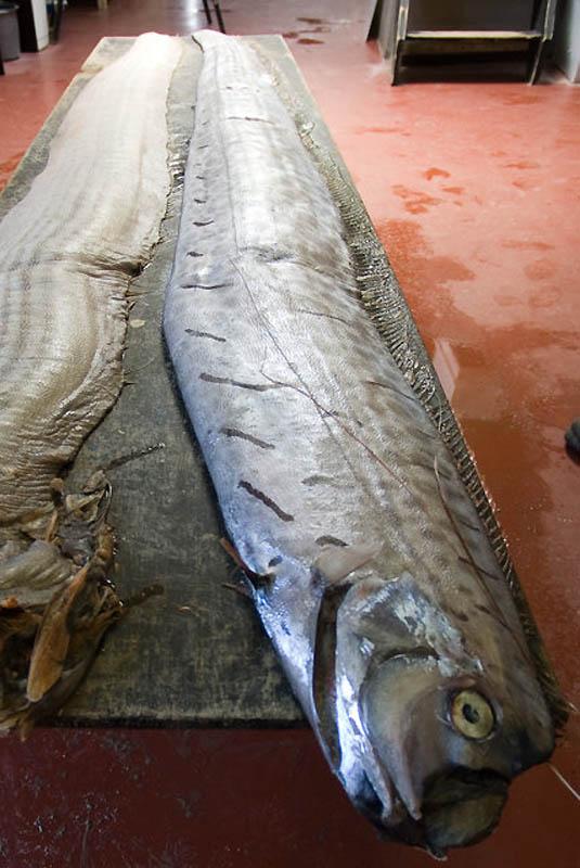8145 Чудо рыба