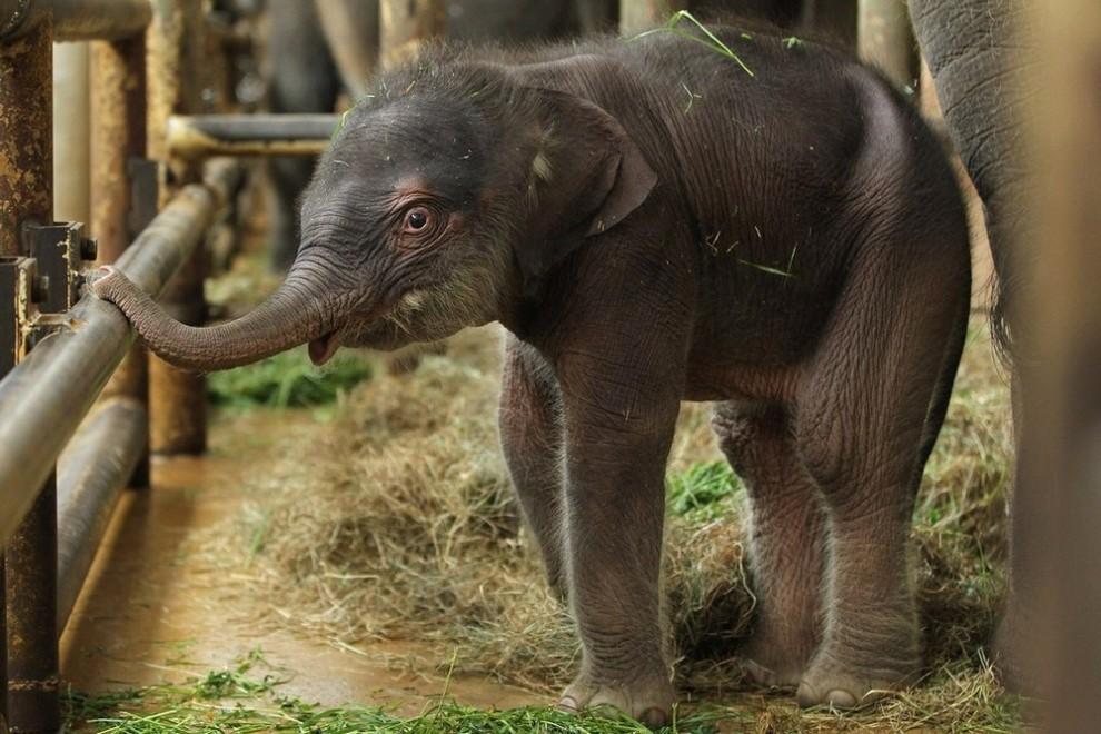 84 990x660 Двухдневный слоненок в Берлинском зоопарке