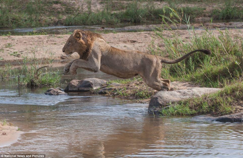 9104 Жестокая природа: гиппопотам против львов