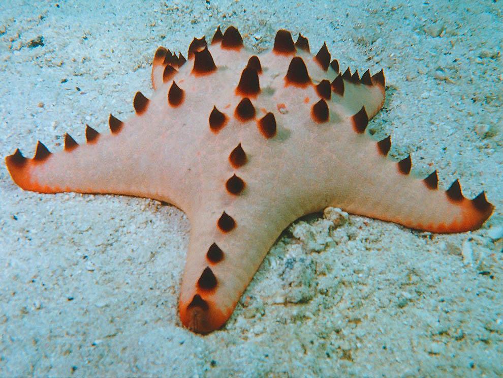 994 Морская звезда
