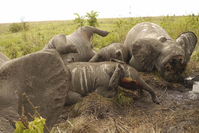 BIGPIC22 Браконьерство в Африке