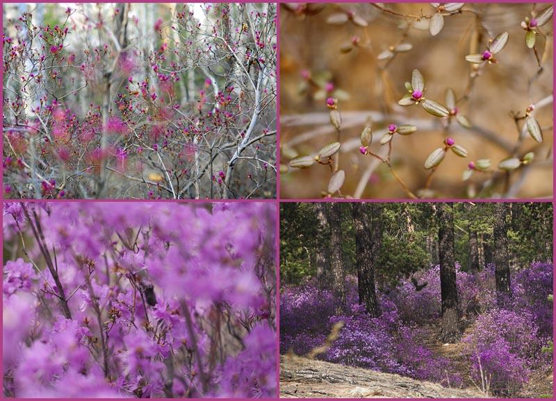 Цветение багульника — удивительное и чудесное зрелище