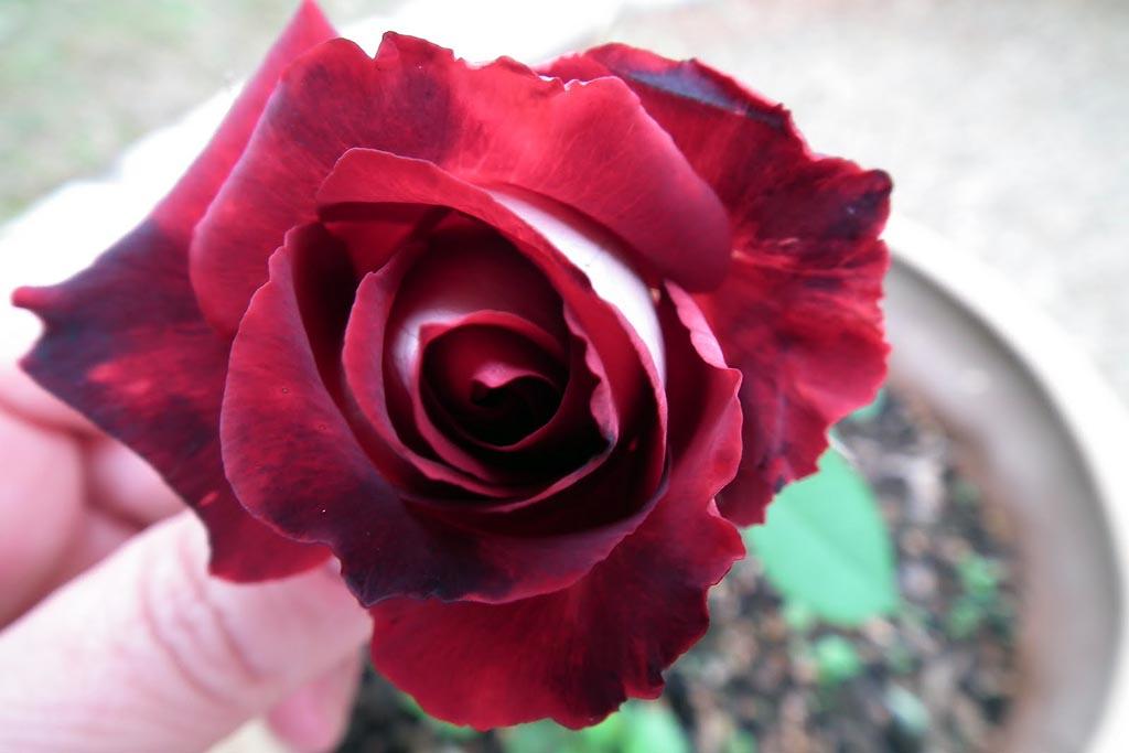 DSCF1486 Роза сорта Osiria