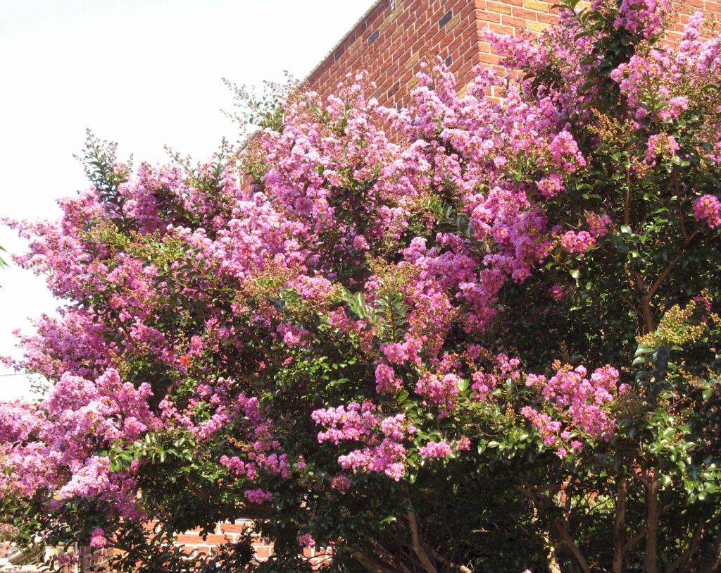 lilac01 Сирень в цвету