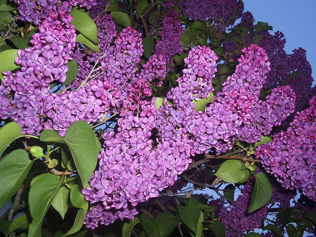 lilac02 Сирень в цвету