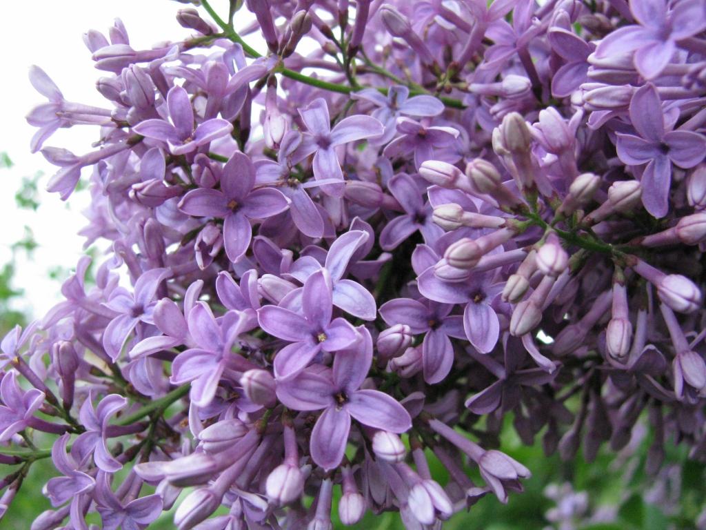 lilac03 Сирень в цвету