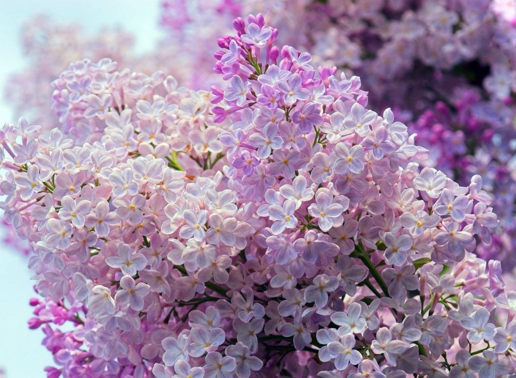 lilac04 Сирень в цвету