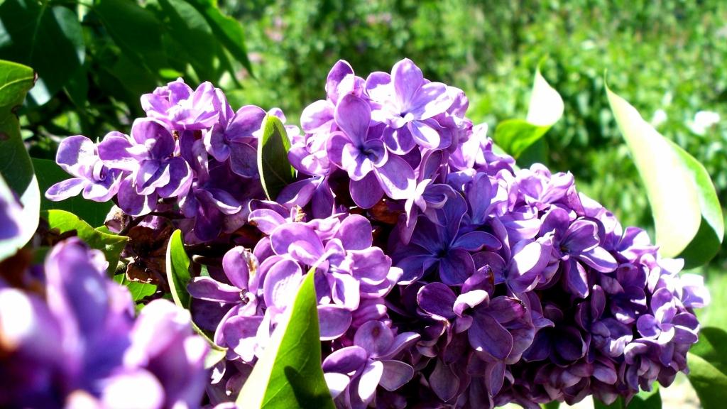 lilac05 Сирень в цвету
