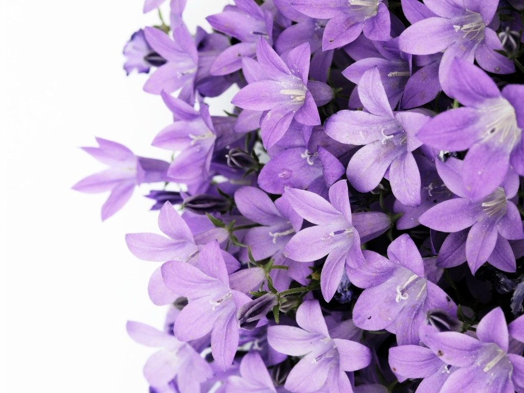 lilac09 Сирень в цвету