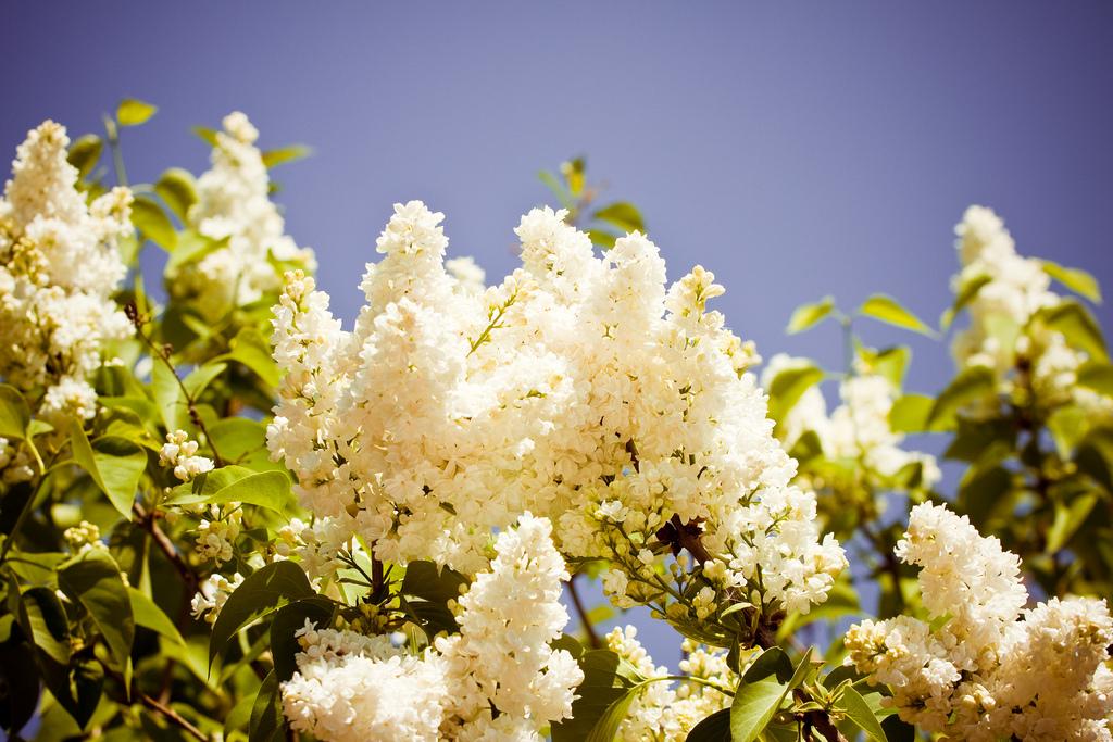 lilac10 Сирень в цвету