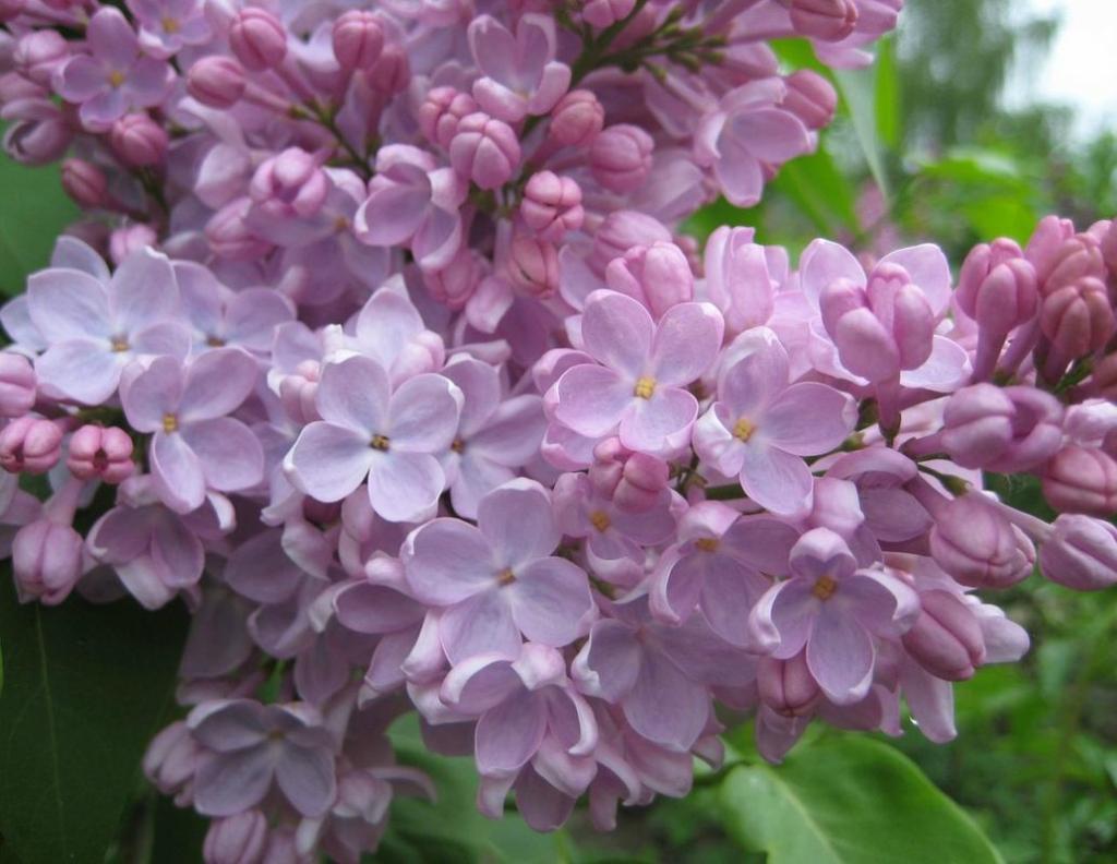 lilac11 Сирень в цвету