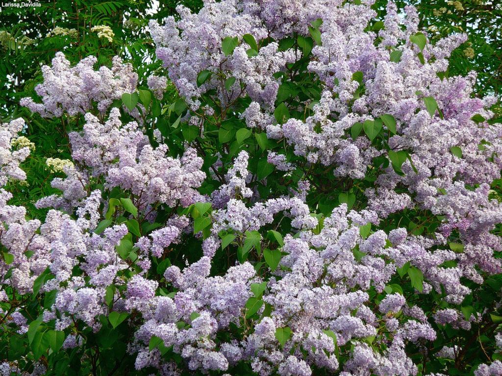 lilac12 Сирень в цвету