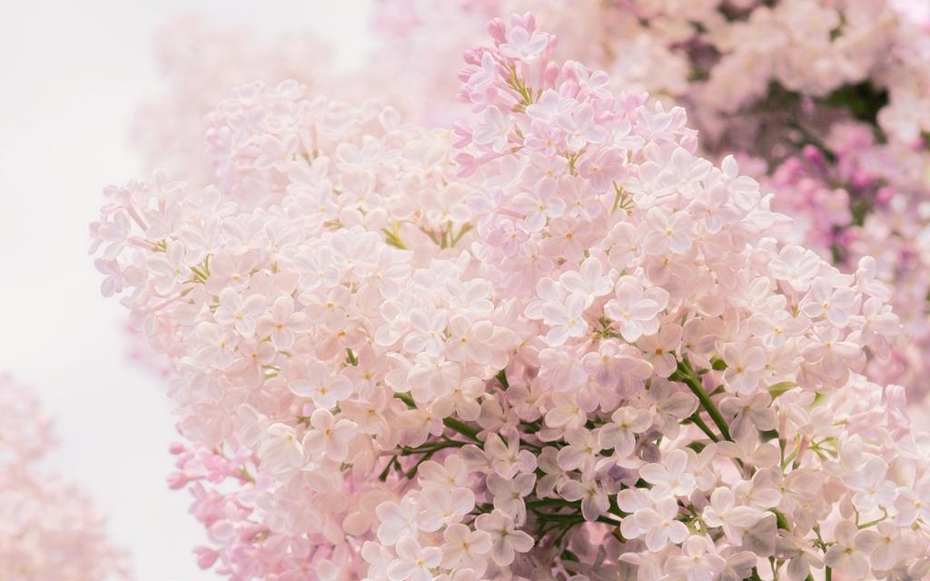 lilac14 Сирень в цвету