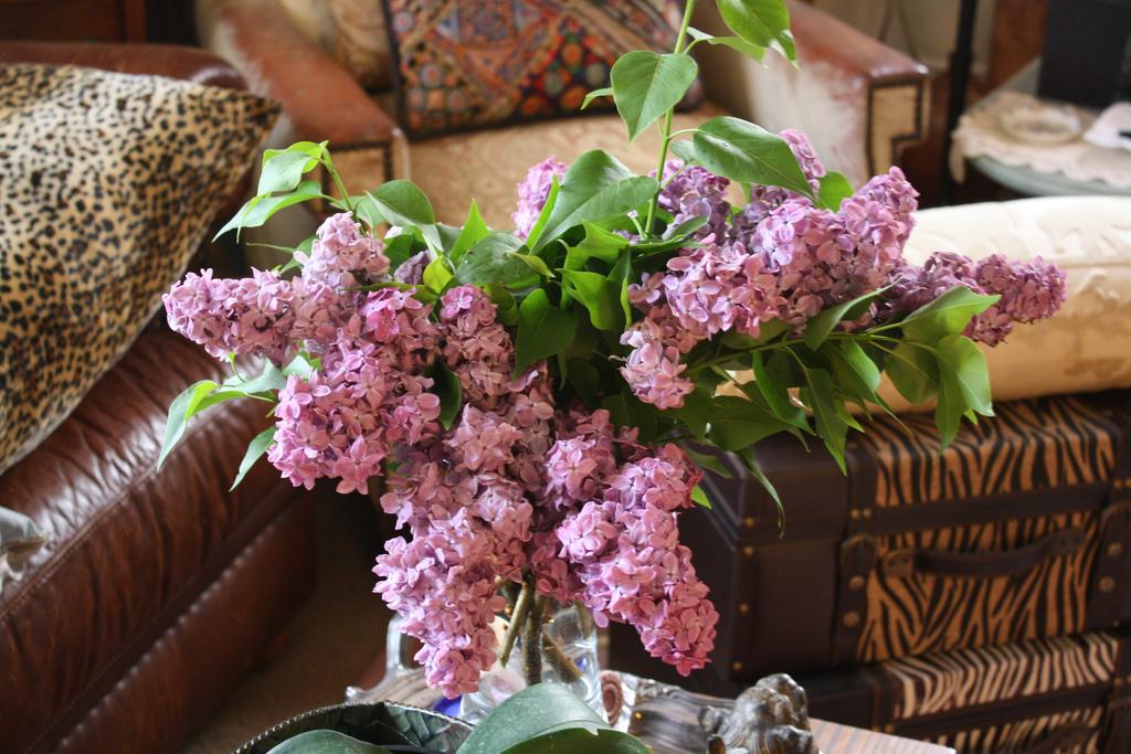 lilac15 Сирень в цвету
