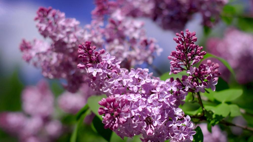 lilac16 Сирень в цвету