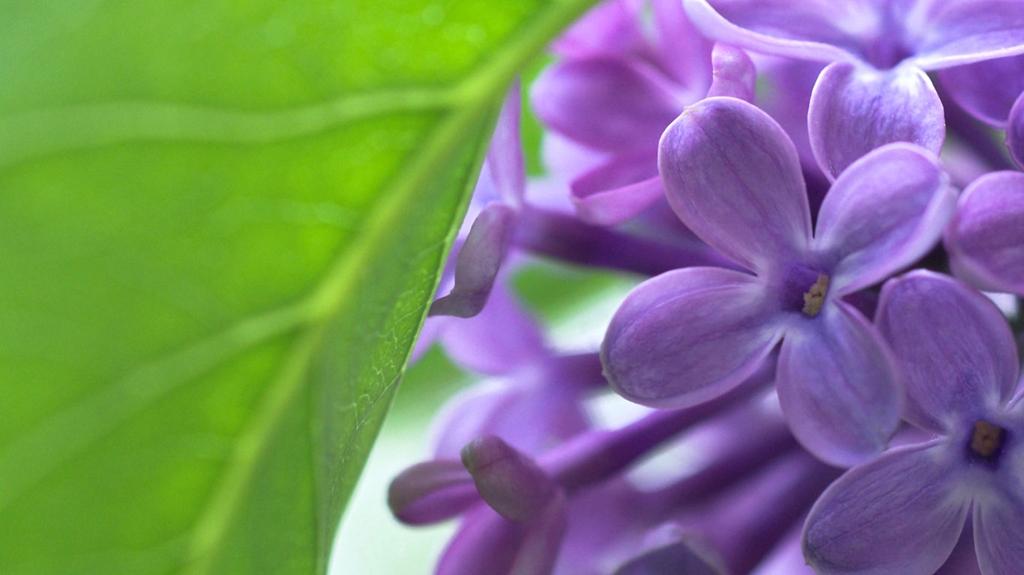 lilac18 Сирень в цвету