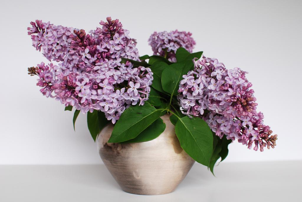 lilac19 Сирень в цвету