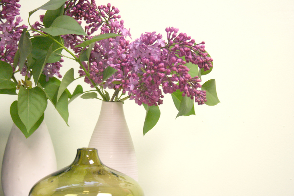 lilac20 Сирень в цвету
