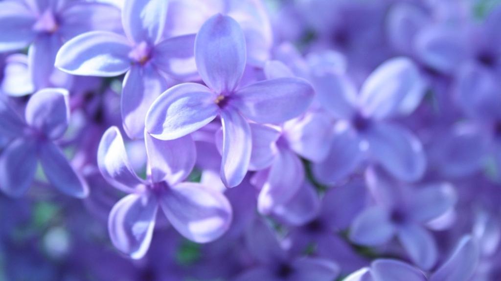 lilac21 Сирень в цвету
