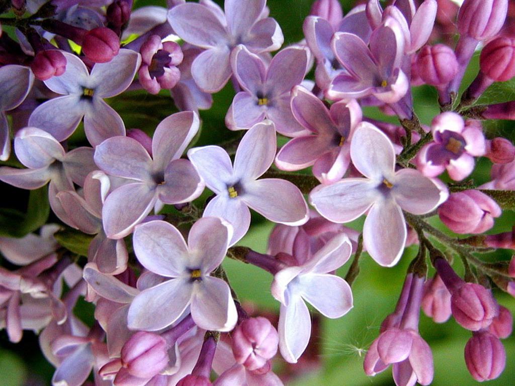 lilac22 Сирень в цвету
