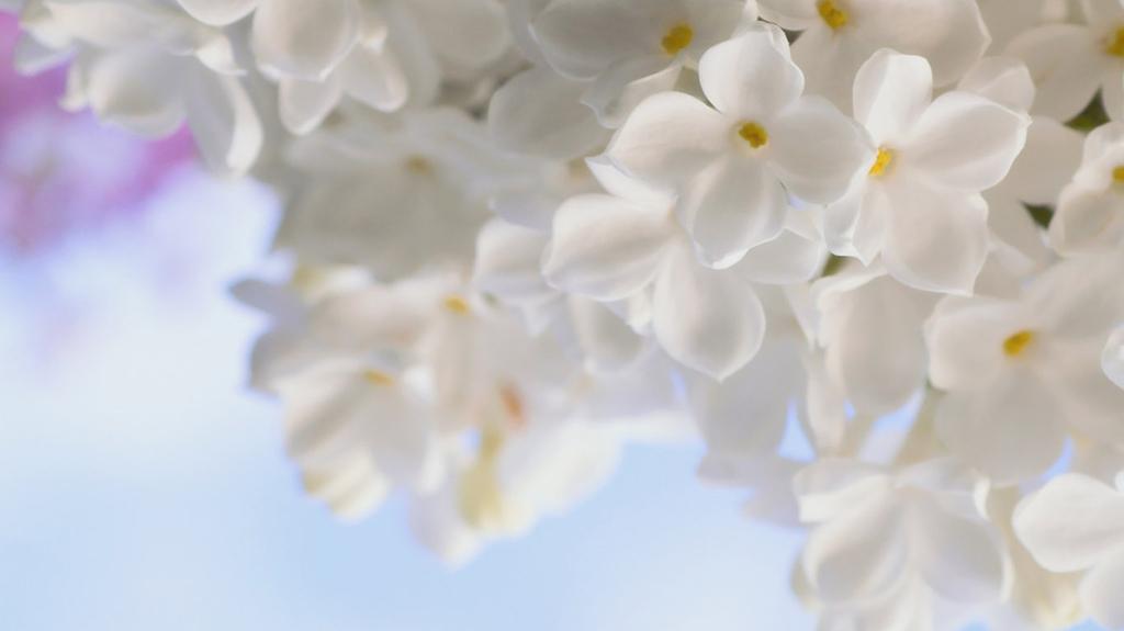 lilac23 Сирень в цвету