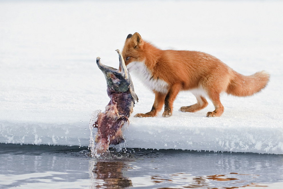 nerest08 Нерест нерки на Курильском озере