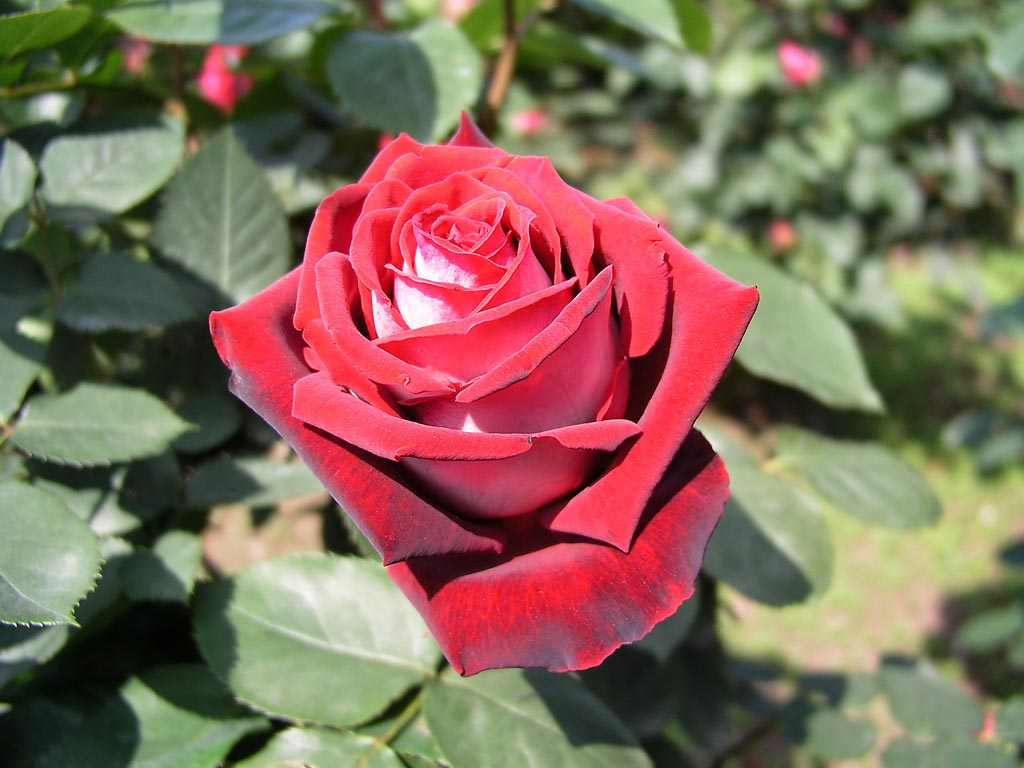 osiria2 Роза сорта Osiria