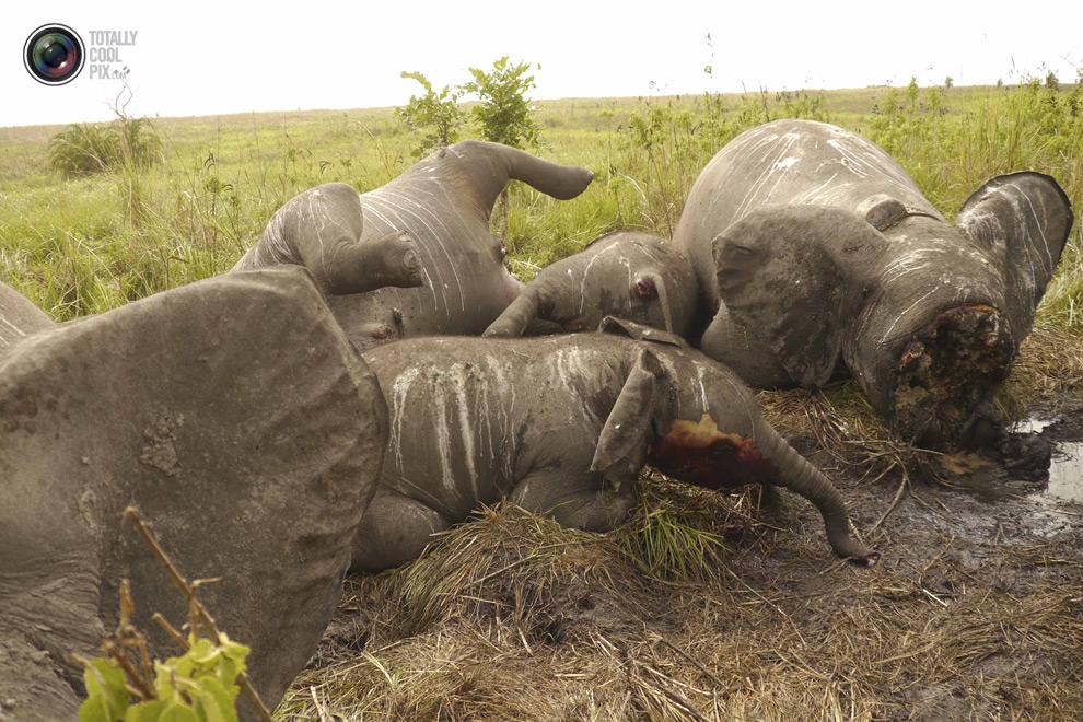 poaching 012 Браконьерство в Африке