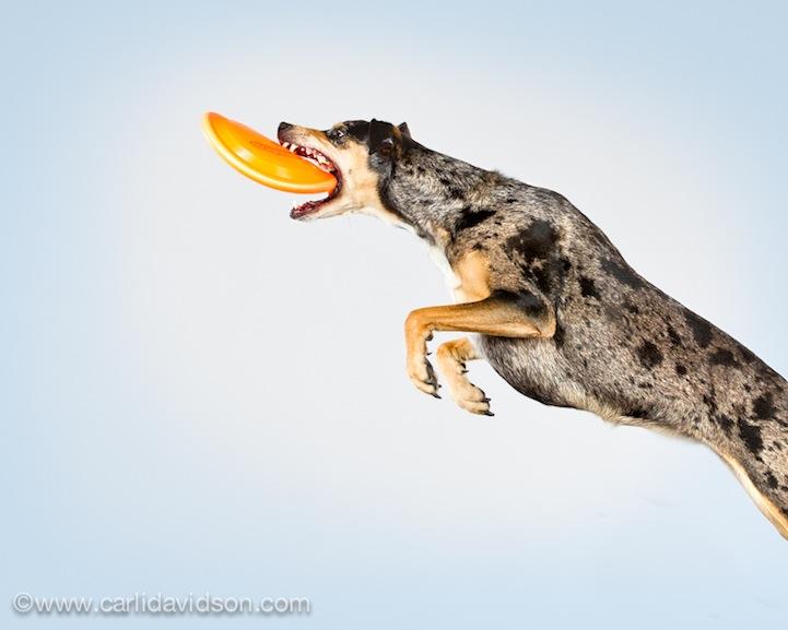 prigausg Прыгающие собаки в новом проекте Карли Дэвидсон Аппорт!