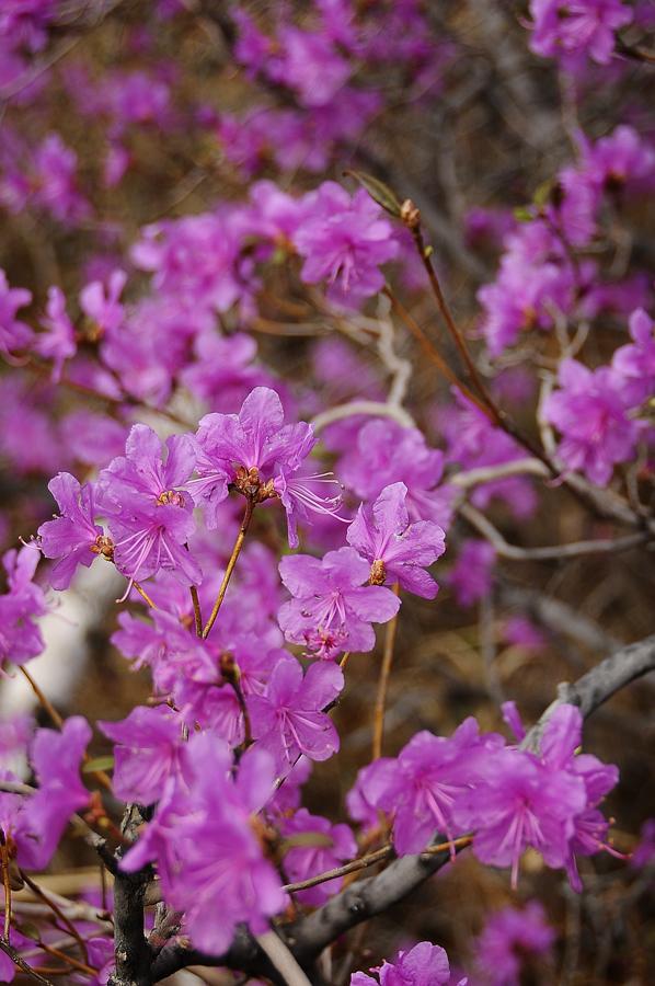 purple02 Цветение багульника   удивительное и чудесное зрелище
