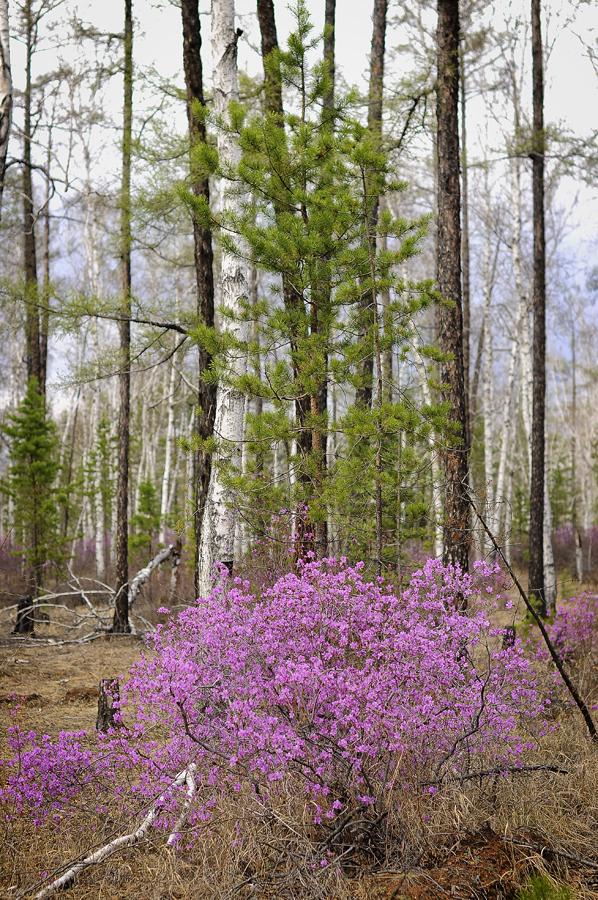 purple04 Цветение багульника   удивительное и чудесное зрелище