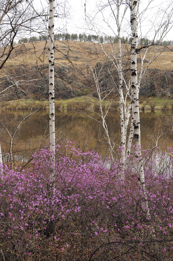 purple09 Цветение багульника   удивительное и чудесное зрелище