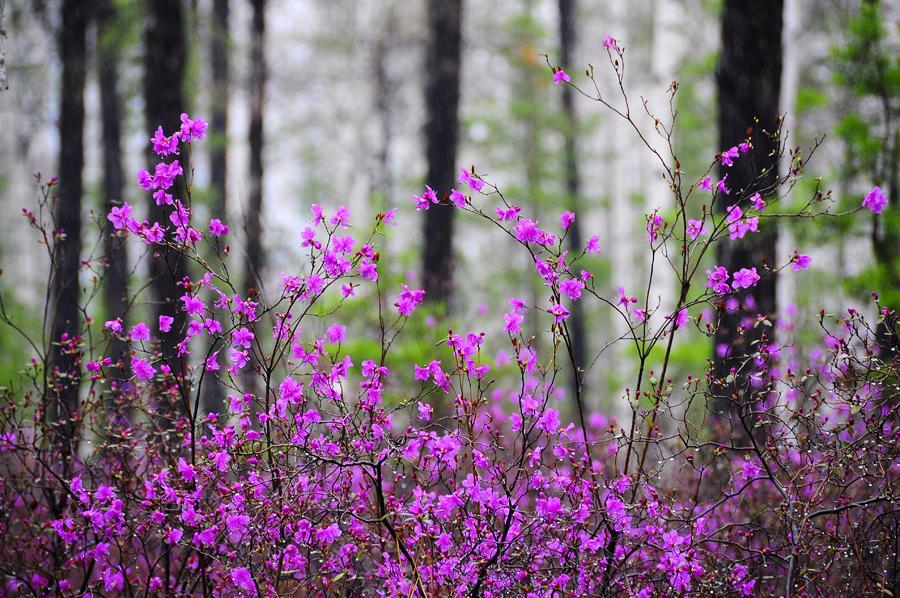 purple11 Цветение багульника   удивительное и чудесное зрелище