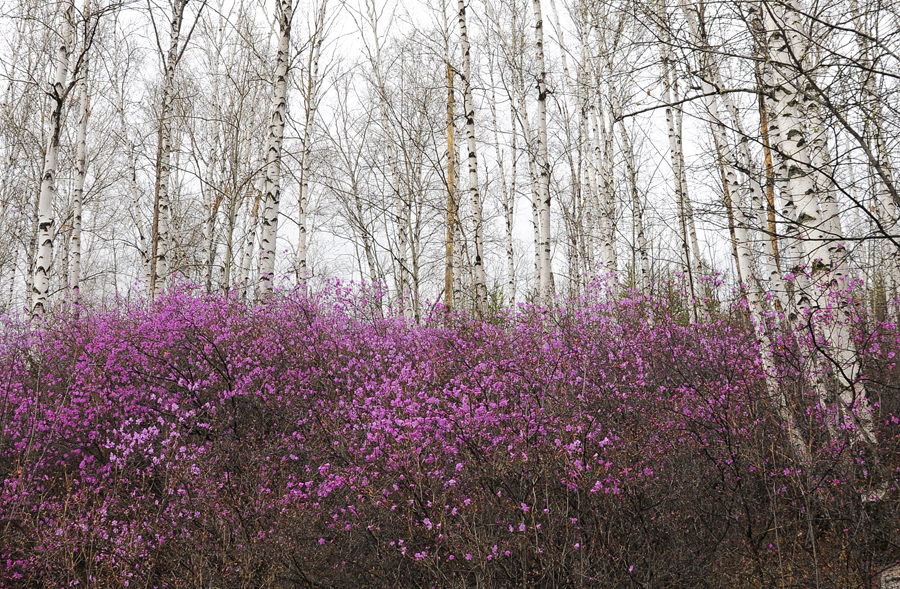 purple13 Цветение багульника   удивительное и чудесное зрелище