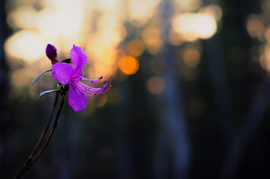 purple14 Цветение багульника   удивительное и чудесное зрелище