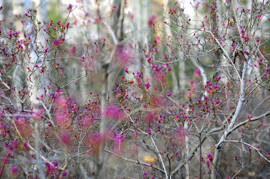 purple15 Цветение багульника   удивительное и чудесное зрелище