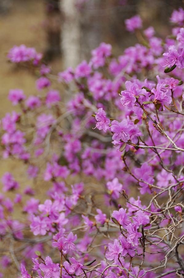 purple19 Цветение багульника   удивительное и чудесное зрелище