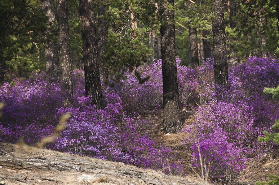 purple20 Цветение багульника   удивительное и чудесное зрелище