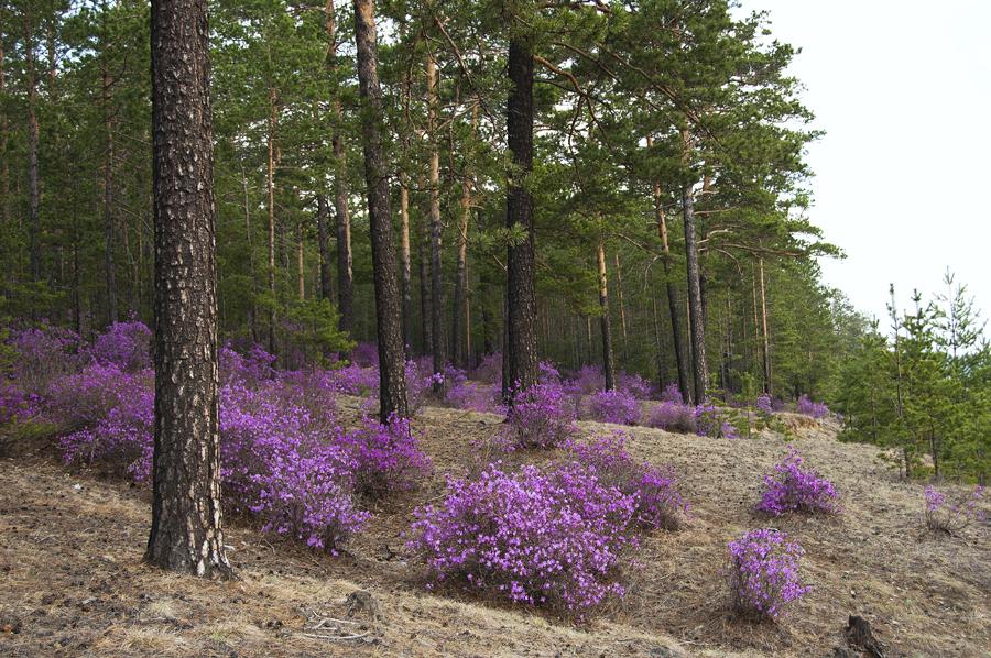 purple22 Цветение багульника   удивительное и чудесное зрелище