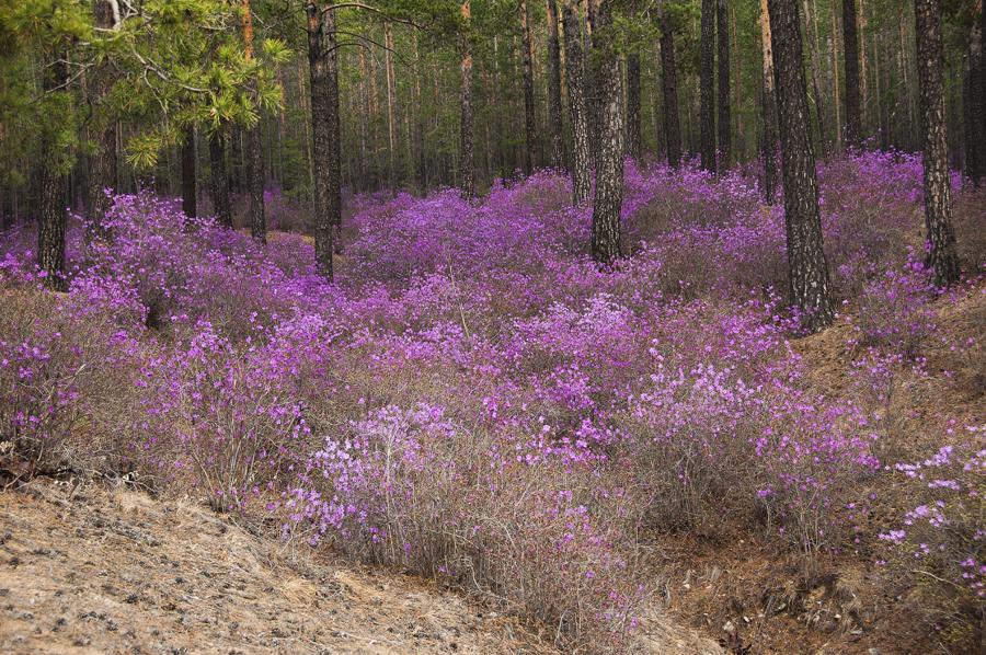 purple23 Цветение багульника   удивительное и чудесное зрелище