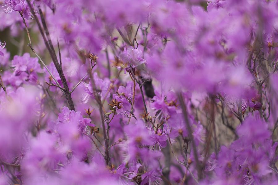 purple25 Цветение багульника   удивительное и чудесное зрелище