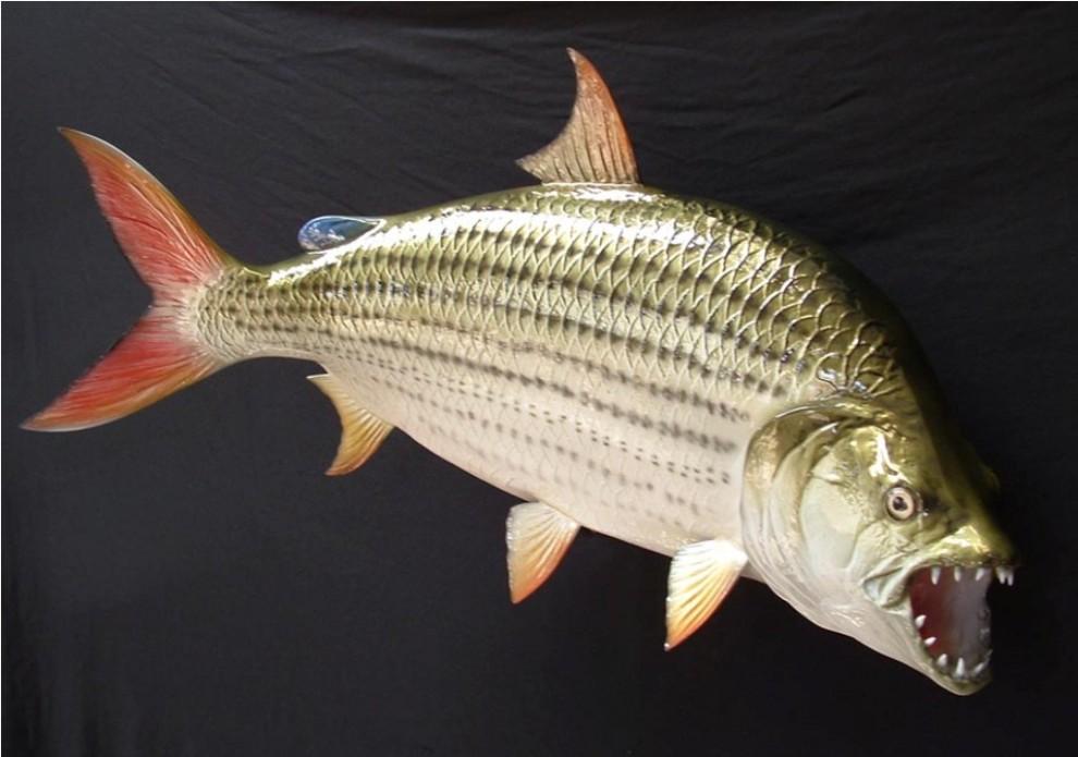 ruba goliaf12 990x695 Водный монстр из Африки   Тигровая рыба Голиаф