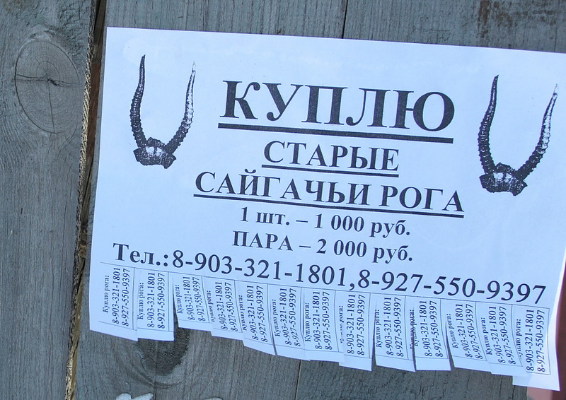 saigak16 Почему у сайгаков грустные глаза?