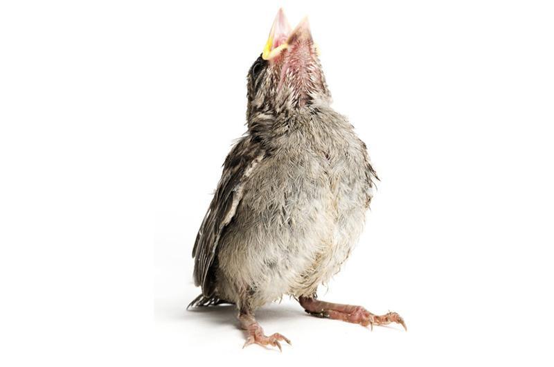Воробей обыкновенный Фотопроект Гэвина Парсонса Baby birds