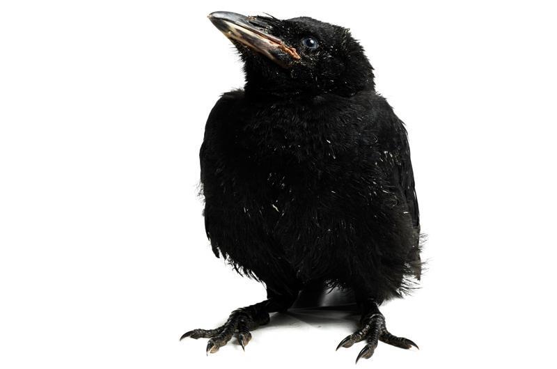 Ворон Фотопроект Гэвина Парсонса Baby birds